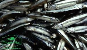 Dùng chín vi sinh vật trong ruột cá để lên men to phần thịt cá.