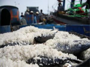 Ướp muối cá là quá trình quan trọng trong chế biến nước mắm.